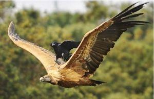 Freeloading Crow