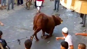 torture - cruelty to cow