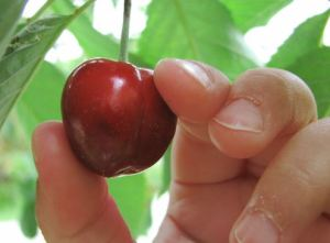 Cherry picking 1