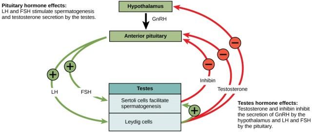 MCE - Hormonal Regulation of Spermatogenesis