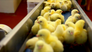 chicks on conveyor belt