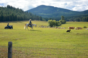 Range Riders Ferry County wolf cattle